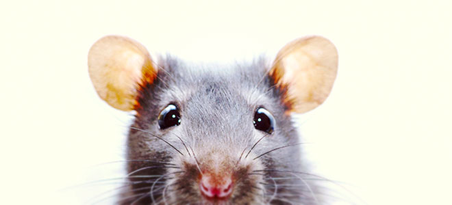 Noises In Your Toronto Drains? It Could be Rats!